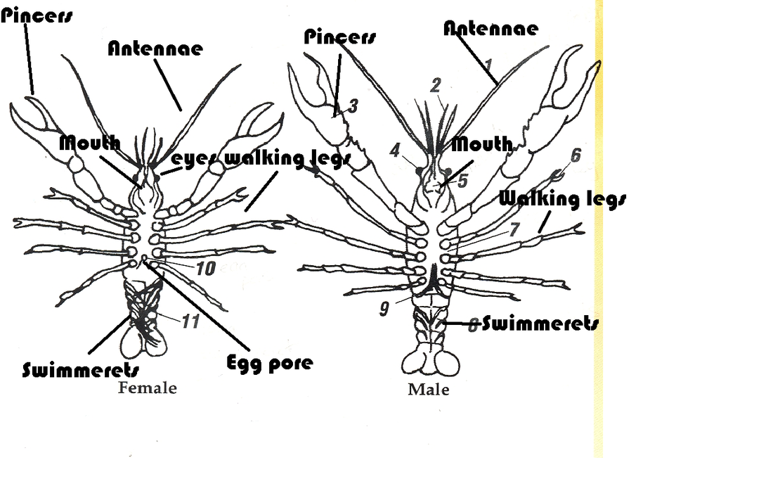 Crayfish Diagram Female Diy Enthusiasts Wiring Diagrams